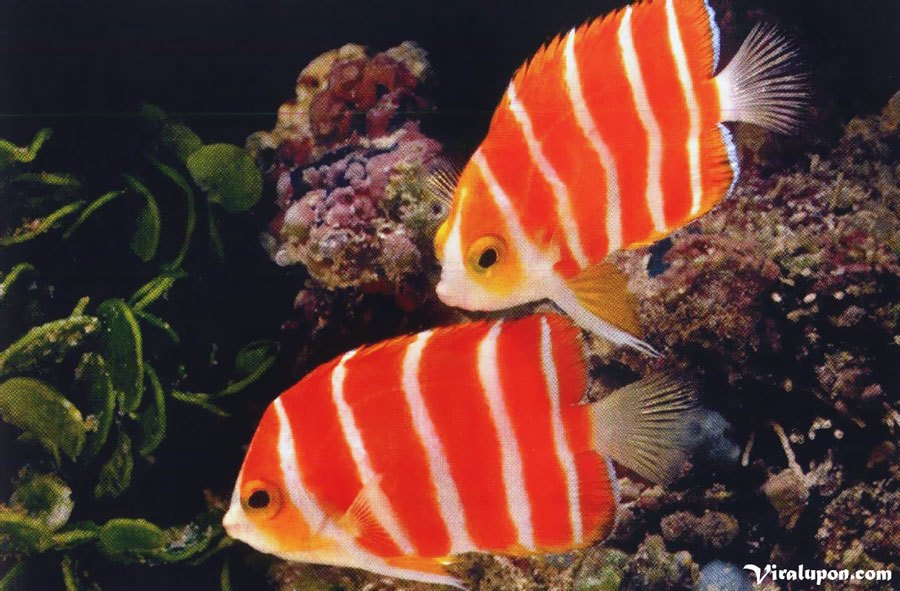Peppermint Angelfish | Whats is the most expensive fish in the world?
