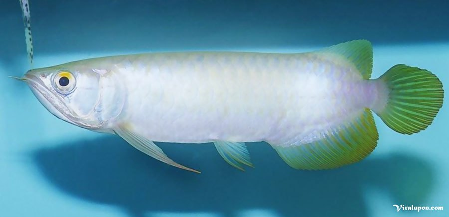 Platinum Arowana | the most expensive fish in the world