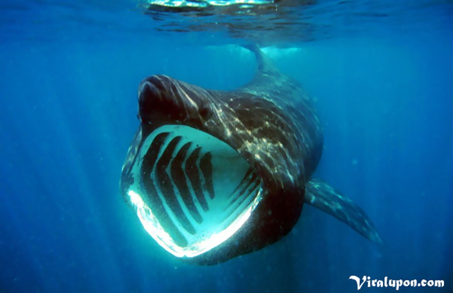 Basking Shark | top 10 largest fish in the world