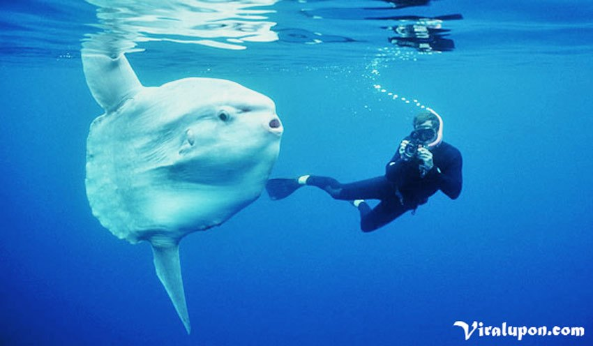Ocean Sunfish | top 10 largest fish in the world