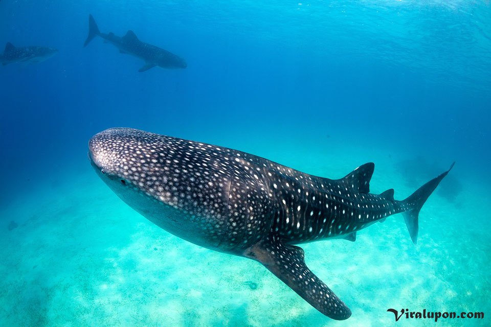 Whale Shark | worlds biggest fish