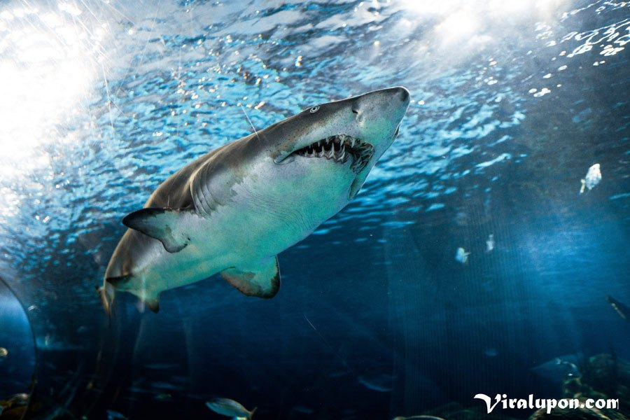 Great White Shark | the biggest fish in the world