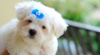 smallest dog breeds - 13 list of that small dog breeds name