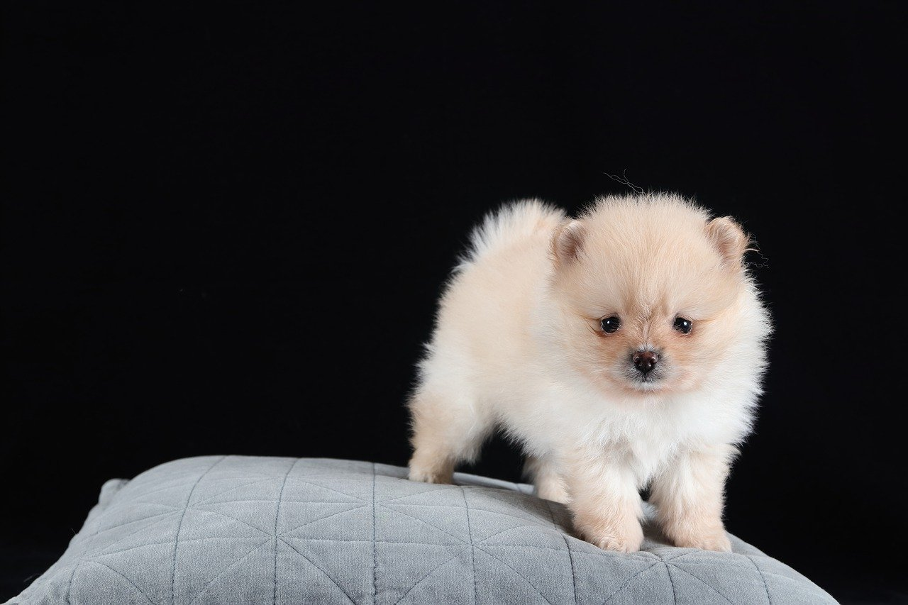 Pomeranian Dogs | One of the cutest animal in the world
