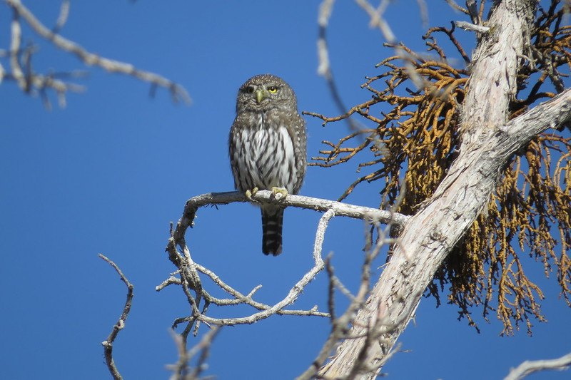 Northern Pygmy Owls | The cutest animal in the world