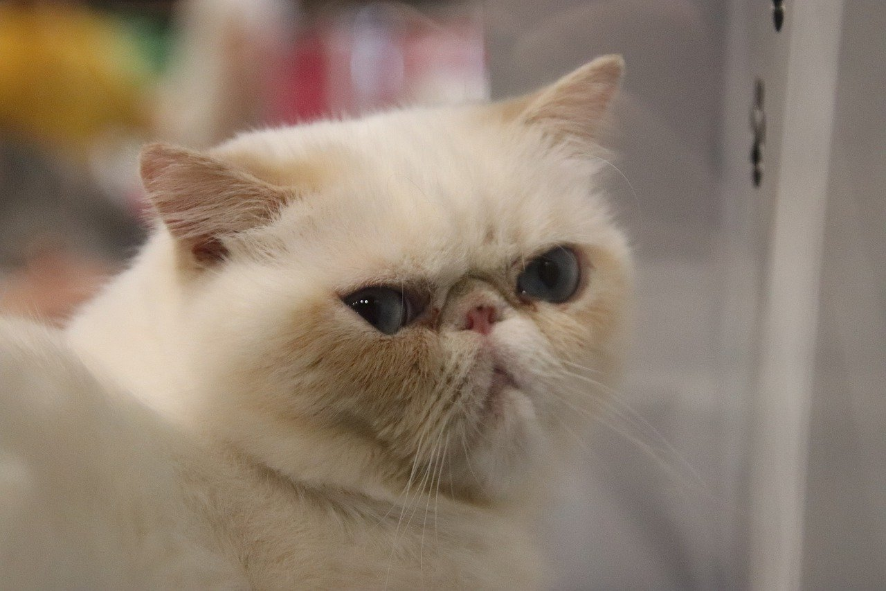 Persian Cats | cutest animal in the world